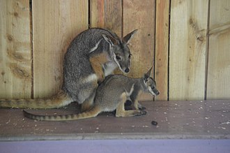 Yellow-footed rock-wallaby - Image: Yellow Footed Rock Wallaby with joey