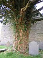 Yew tree at the west end of Capel Garmon church - geograph.org.uk - 1376064.jpg