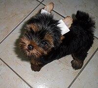 Yorkshire Terrier Wikipedia A Enciclopedia Livre