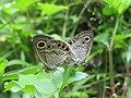 Ypthima huebneri – Common Four-ring mating 12.jpg