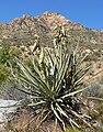 Yucca baccata 8.jpg