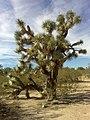 Yucca brevifolia (Joshua Forest Scenic Road).jpg
