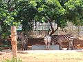 Zebra drinking water.jpg