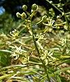 Zigadenus micranthus var micranthus 2.jpg