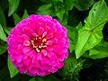 Zinnia Flowers گل آهاری 16.jpg