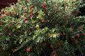'Grevillea Forinda' at Capel Manor College Gardens Enfield London England 1.jpg