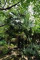 'Trachycarpus fortunei' raised border Capel Manor College Gardens Enfield London England.jpg