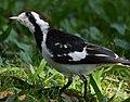 (1)Magpie-lark-2.jpg