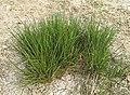 (MHNT) Juncus effusus - Young plants.jpg