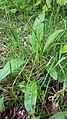Čertkus luční – Succisa pratensis (01).jpg