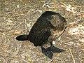Баклан (Phalacrocorax carbo) спить. Ймовірно, птах хворий.jpg