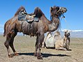 Верблюд под седлом.jpg