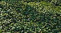 Жовтець багатоквітковий НПП Голосіївський лікарська рослина.jpg