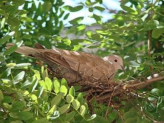 Hrdličky majú dosť primitívne hniezdo