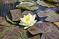 Латаття Марліака Хромателла в колекції водних рослин.jpg
