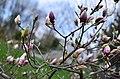 Магнолії у ботанічному саду Хмельницького національного університету. Фото 4.jpg