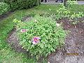 Півонія у ботанічному саді.JPG