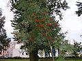 Рябина - panoramio (3).jpg
