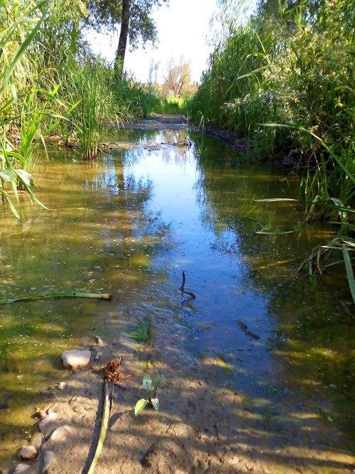 Специјални резерват природе Брзанско Моравиште, белоушка