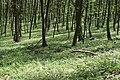 Теліженецький ліс DSC 0047.jpg