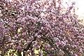 Цветущая яблоня. Елагин остров фото 2.jpg