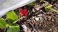 פרח אדום 2.jpg