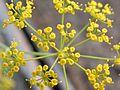 زهور نبات البقدونس - panoramio.jpg