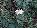 シロヒガンバナ(Lycoris radiata) - panoramio.jpg