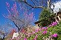 広橋梅林「梅の仲間の果樹園」にて 2014.3.22 - panoramio.jpg