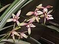 建蘭中斑縞藝 Cymbidium ensifolium Leaf-art-series -香港沙田國蘭展 Shatin Orchid Show, Hong Kong- (9252408361).jpg