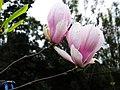 木蓮花 Magnolia denudata - panoramio (1).jpg