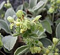 毒馬草屬 Sideritis scordioides -哥本哈根大學植物園 Copenhagen University Botanical Garden- (36893946426).jpg