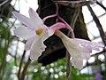 石斛蘭屬 Dendrobium cumulatum -香港嘉道理農場 Kadoorie Farm, Hong Kong- (9673373912).jpg