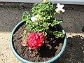 -2020-06-04 Geraniums (Pelargonium × hortorum), Trimingham, Norfolk.JPG