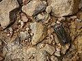 ... hopper -- leaf hopper (6188476433).jpg