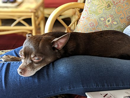 Chihuahua lounging on owner's lap 00100trPORTRAIT 00100 BURST20200417141352037 COVER.jpg
