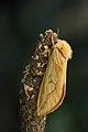 03.005 BF14 Ghost Moth, Hepialus humuli (14389752601).jpg