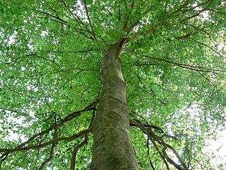 Beech-maple forest - Image: 07 03American Beech FL