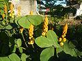 07875jfSenna alata flowers Cassia alata L. ringworm bush Philippinesfvf 13.jpg