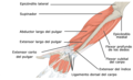 1120 Muscles that Move the Forearm Antebrach. Prof. Ext. Sin esp.png