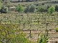 126 Vinyes de les Rocasses (Vespella de Gaià).jpg