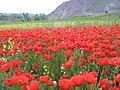 1 (258)تصویر زیبا از گل های لاله در مزارع قوزای کبودکمر.JPG
