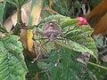 1 - Pentatoma rufipes 6 - Putney Heath Common 2011.08.02.jpg