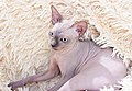 1 adult cat Sphynx. img 046.jpg