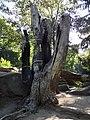 2. Сімейне дерево, (парк «Софіївка»), Умань.JPG