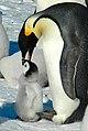 2007 Snow-Hill-Island Luyten-De-Hauwere-Emperor-Penguin-88.jpg