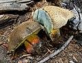2011-09-16 Boletus calopus var. frustosus (Snell & Dick) Miller & Watling 169678.jpg