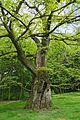 2012-05 Naturdenkmal Marone Bochum Haus Weitmar (NRW) 03.jpg