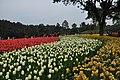2014-04-04 石象湖 郁金香 liuzusai - panoramio (45).jpg