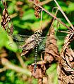 2014-09-08 12-50-39 anisoptera-sp.jpg